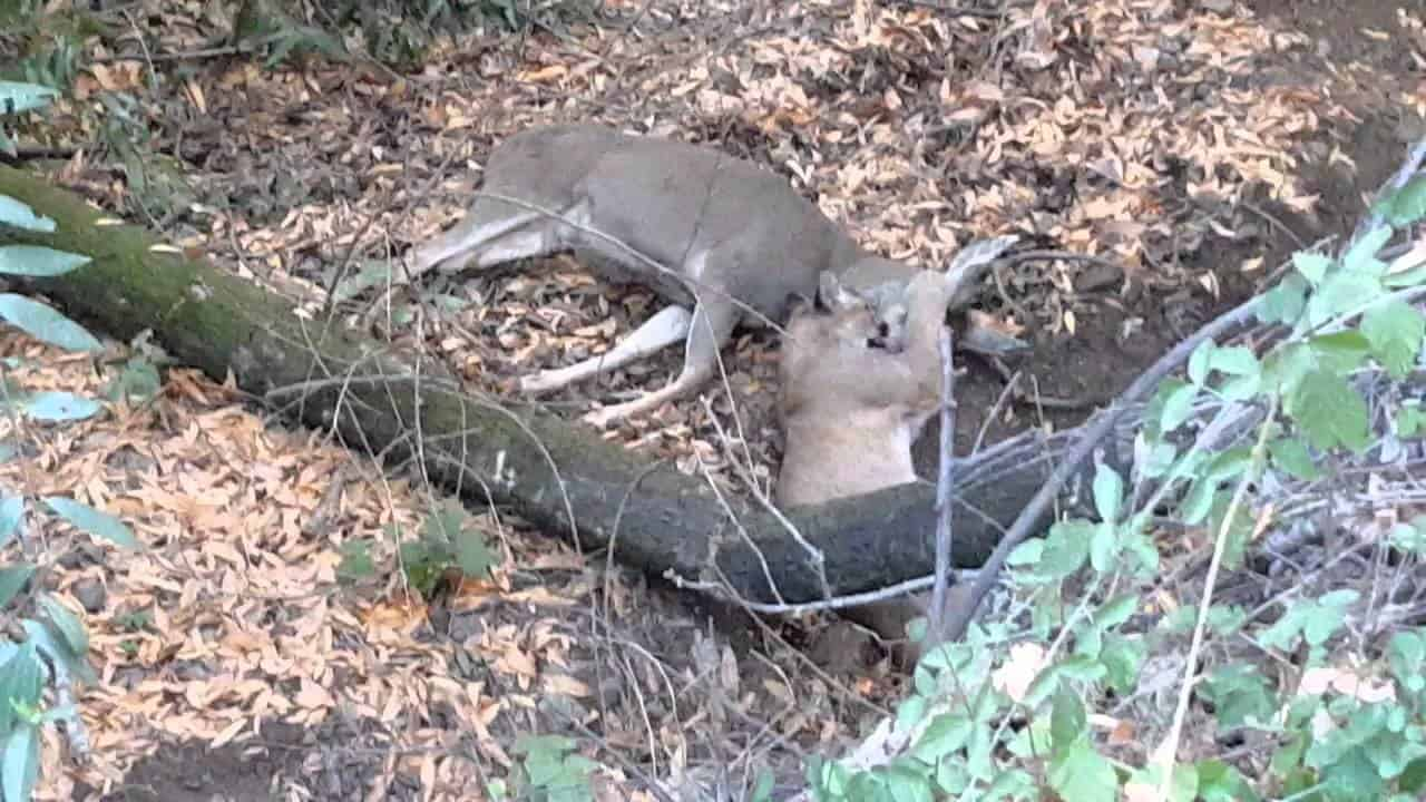 » Jogger Videos Mountain Lion Attacking Deer