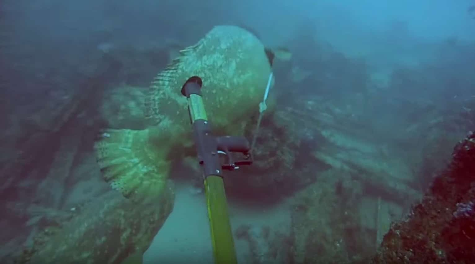 Video giant grouper outfishes angry spearfisher outdoors360 for Goliath grouper fish