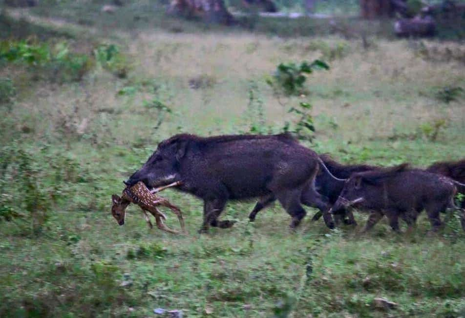 helicopter hog hunt texas with Wild Hogs Kill Baby Deer In Viral Photo on Hog Hunt With 300 Blackout And Glock as well Hunting In Australia together with Contact besides Vertx Ultimate Hog Hunting Safari Giveaway 120492 additionally R Culling Feral Hogs From The Sky In Texas Takes Off 2017 6.