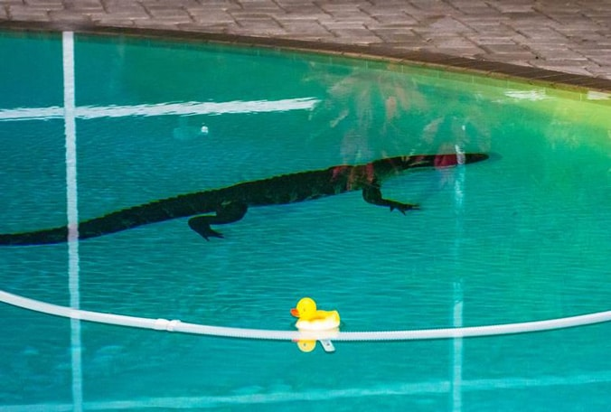 Two large lost alligators found in separate bay area swimming pools simultaneously outdoors360 for Name something you might find in a swimming pool
