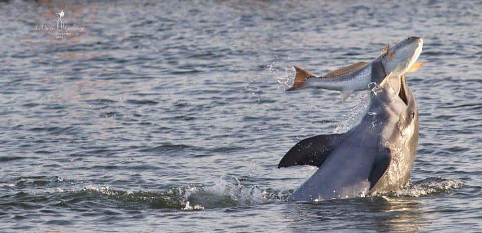 Water Jet Pack >> See the Jaw-Dropping Wild Dolphin Kerplunking a Redfish Photo and How the Magic Happened ...