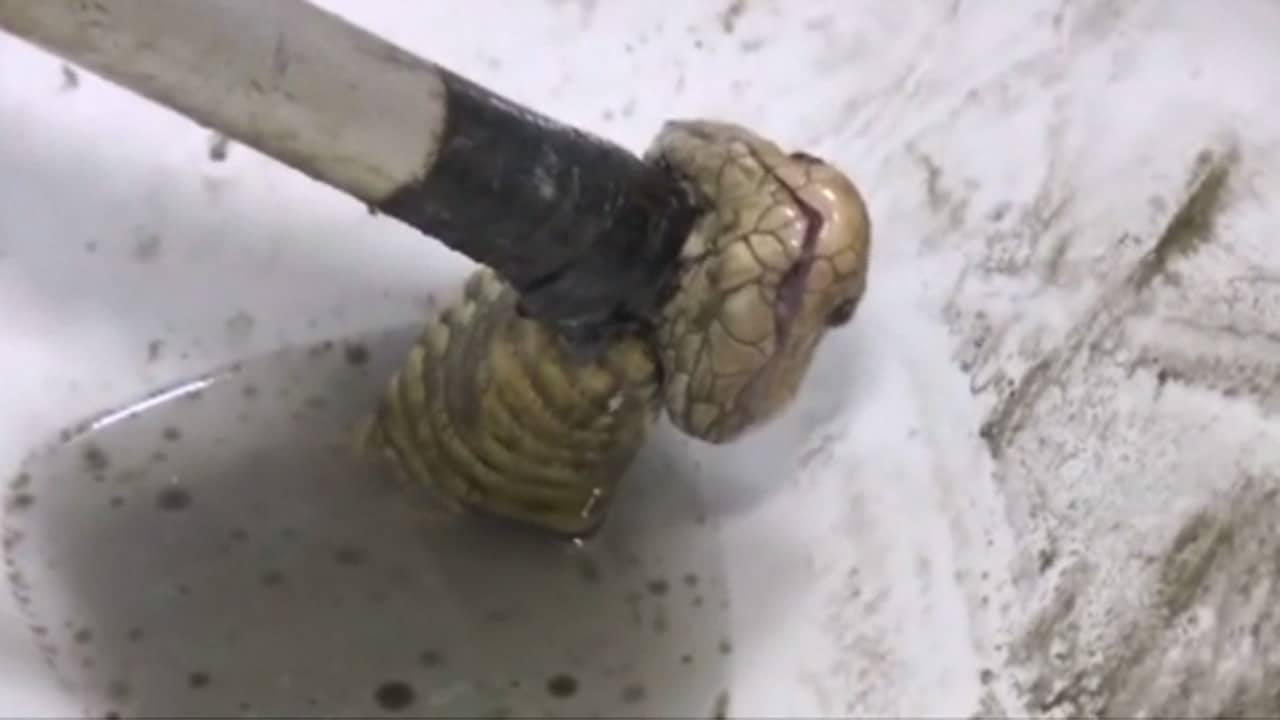 Cobra Discovered After Slithering Into Toilet Gives