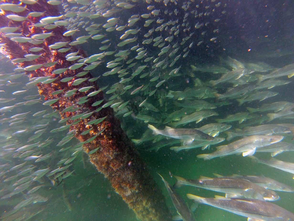 Snook school under juno pier outdoors360 for Juno pier fishing report