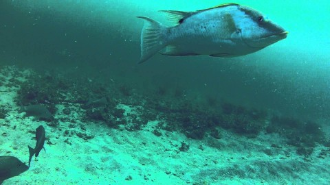 Underwater video of hogfish, grouper and snapper