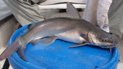 Saltwater catfish limits in the near future to help rebuild stocks