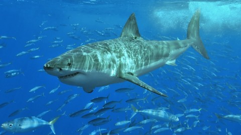 Great White Shark spotted three and 11 miles off Anna Maria Island