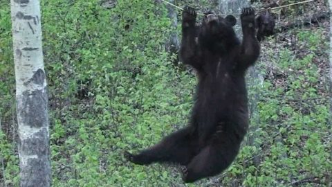 Black Bear attempts scaling rope for beaver treat, Canadian hunters commentate, hilarity ensues