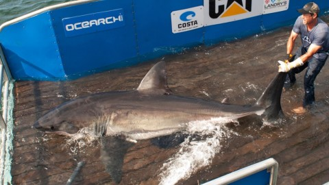 Great white shark tracked off Florida's west coast