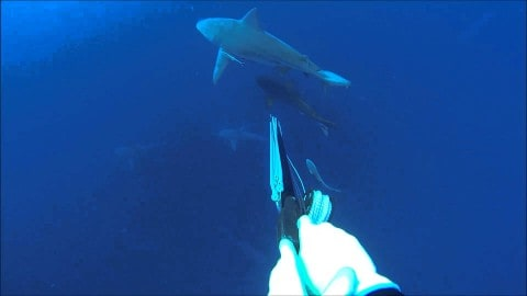 Spearing cobia off 12-foot bull sharks is insane (video)
