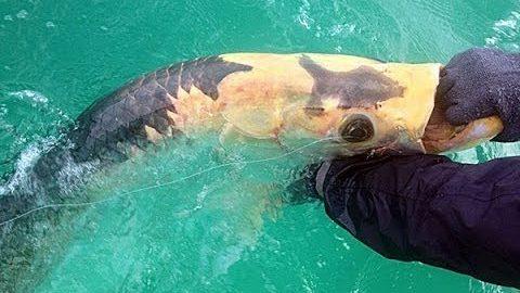 Rare piebald tarpon landed off Anna Maria Island (video)