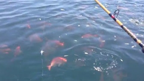 Red snapper surface feeding frenzy off Alabama (video)