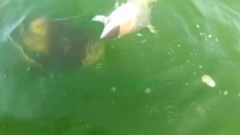 Goliath Grouper eats a 4-foot shark