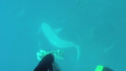 Bull shark eats speared amberjack, takes diver for ride! (video)