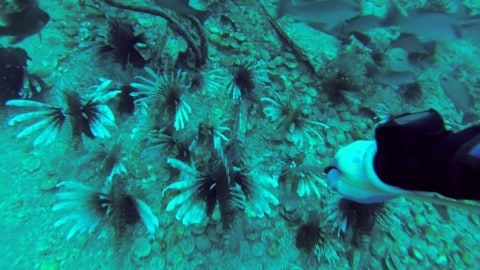Lionfish EVERYWHERE! Diver spears 200 on infested airplane wreck.