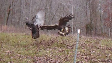 VIDEO : Golden Eagle Attacks Turkey