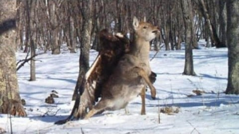 VIDEO : Golden eagle attacks deer