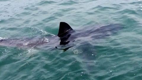 VIDEO – Great White Shark Disrupts Fishing at Popular Lake