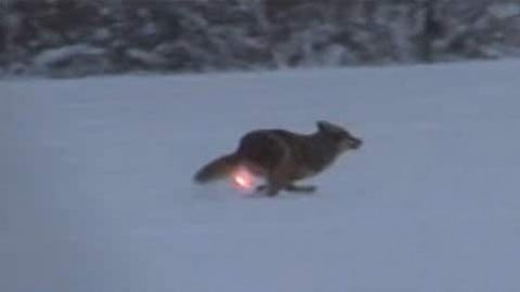 AR-15 Lights Up Coyote and the Hunter Becomes the Hunted