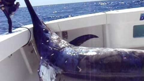 Huge Daytime Swordfish – Over 600-pounds (video)