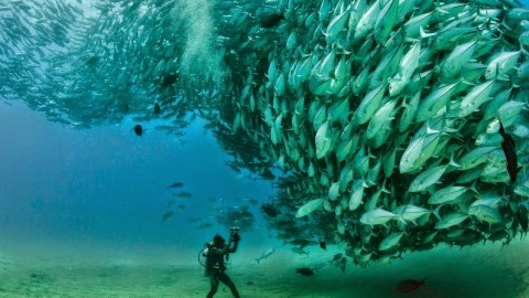VIDEO : TUNA TORNADO – Huge Swarm of Jack Fish Dwarf Scuba Diver