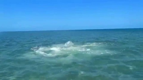 VIDEO : The Real SHARKNADO! Hammerhead Shark Attacks Blacktip Shark Attracting School of Bull Sharks
