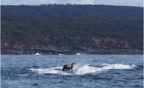 Seal Surfs a Humpback Whale