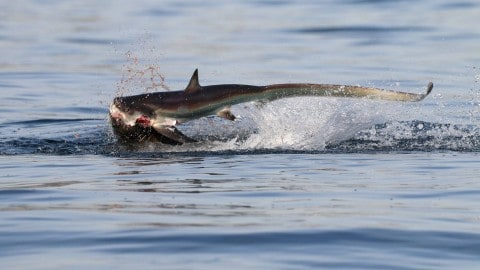 Amazing, violent photos capture sea lion versus shark