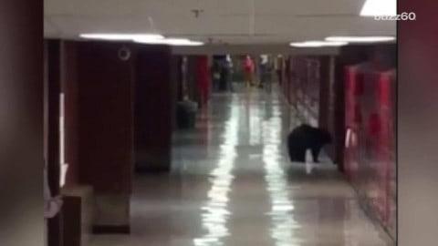 Black bear roams school halls, gets lost