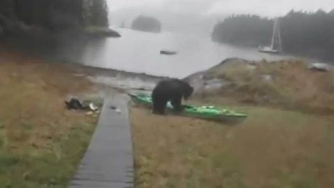 Bear Ignores Shrieking Woman, Eats Kayak