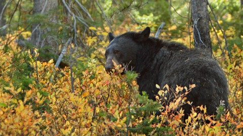 Florida black bear hunting set to kickoff for first time in 21-years