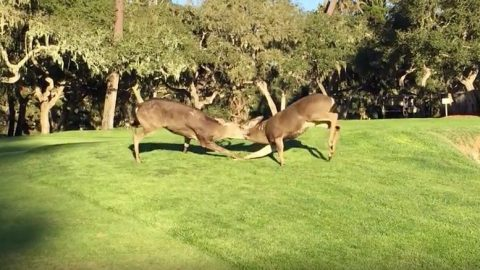Crazy deer fight — on a golf course