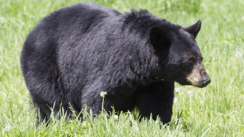 Florida Wildlife Commission Votes Down 2016 Bear Hunt in Surprise Move