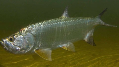 Monster Louisiana tarpon caught, pending U.S. record