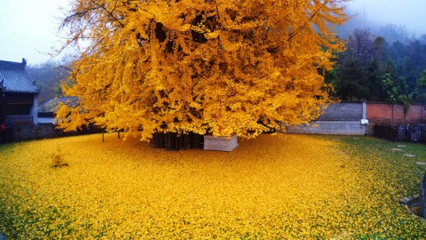The World's Most Beautiful Tree, Ginkgo Biloba