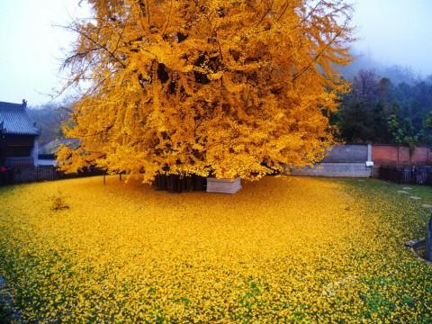 The World's Most Beautiful Tree, Ginkgo Biloba