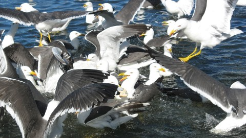 Seagulls Are Becoming Ultra-Aggressive, Attacking And Eating Baby Whales Alive