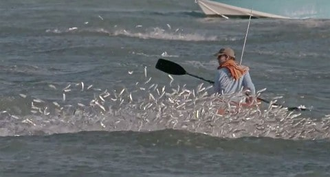 Epic footage of the Florida Mullet Migration