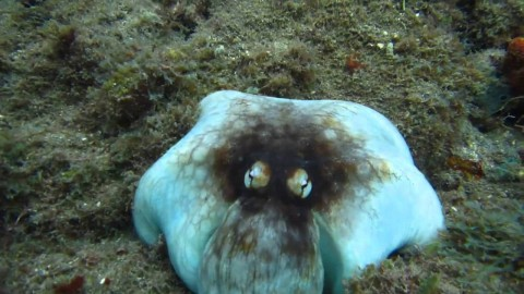 Mind-blowing octopus camouflage defies reality