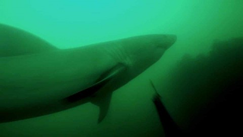 Video : Great white shark attacks diver, diver fights off with speargun