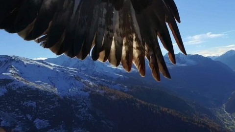 Eagles team up, attack drone, destroy it on camera