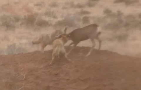 Bow-Hunter Kills Attacking Coyotes to Save Baby Deer's Life