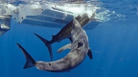 Video: Massive Shark Attacks Marlin
