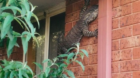 Viral Giant Lizard Terrifies Australian Man