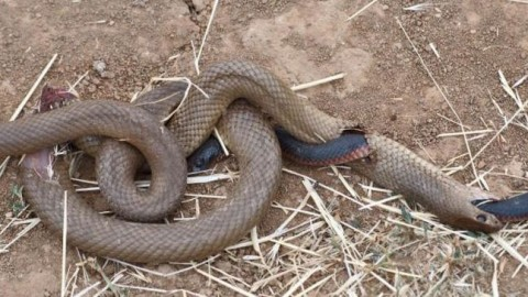 So….Which Snake Ate Which Snake?