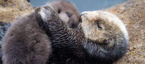 Surprise Wild Sea Otter Comes to Aquarium to Give Birth