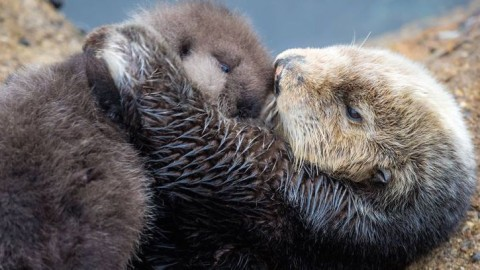 Surprise Wild Sea Otter Comes to Aquarium to Give Birth