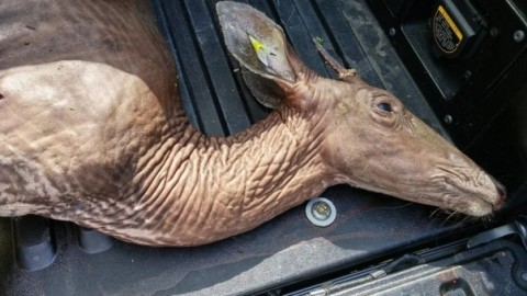 Hairless, Wrinkled, Alien-like Deer Goes Viral