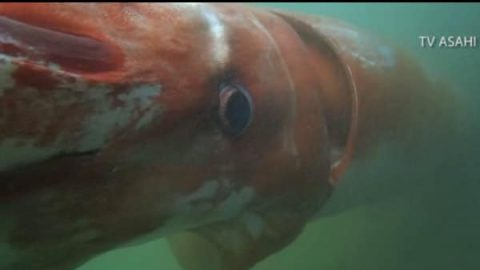 Rare Giant Squid Gets Lost, Appears in Japanese Harbor