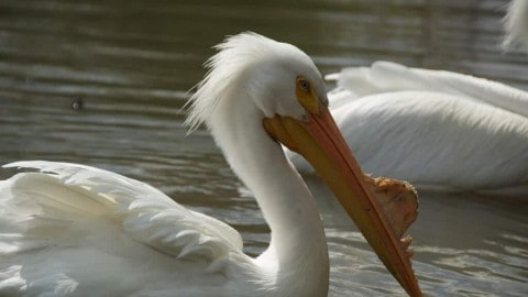 Beautiful White Pelicans Violently Eat Other Birds