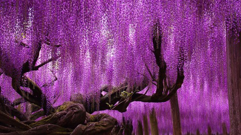 144-Year Old Wisteria Tree is a Half-Acre of Jaw-Dropping Beauty